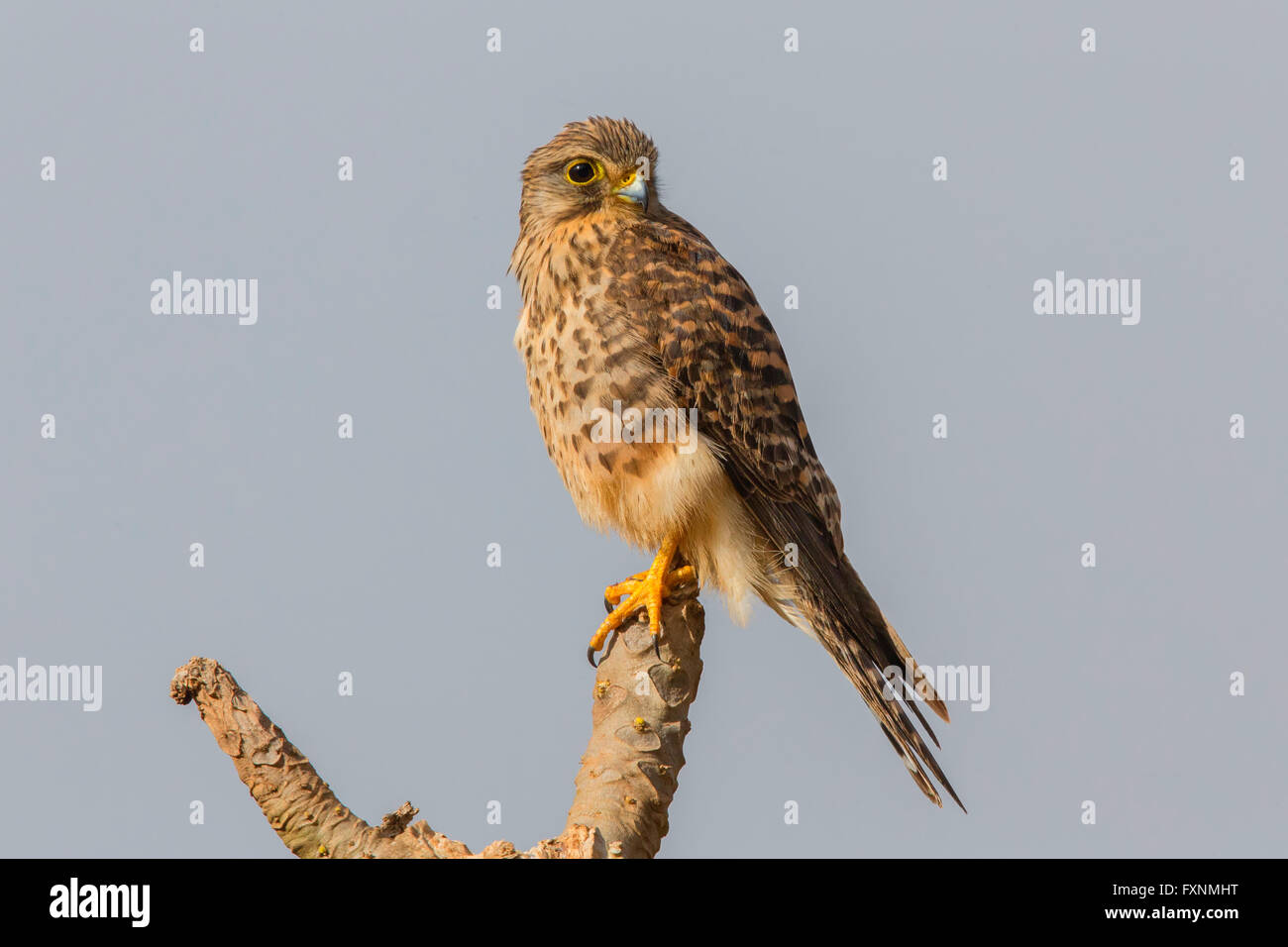 Neglected Kestrel (Falco tinnunculus neglectus), perched on a branch, Sao Nicolau, Cape Verde - Stock Image