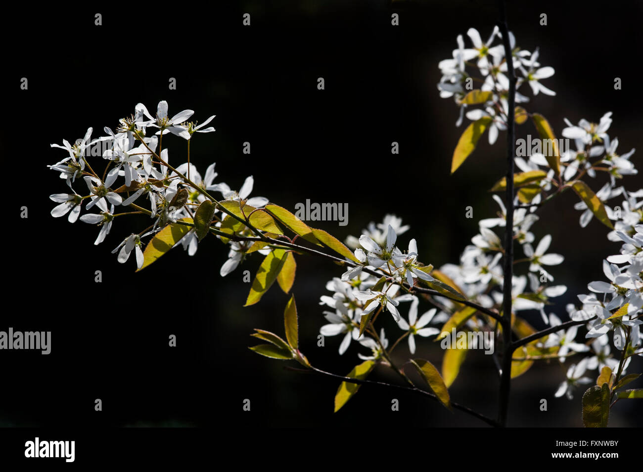 Amelanchier canadensis Rosaceae Juneberry Shadbush Snowy Mespilus - Stock Image