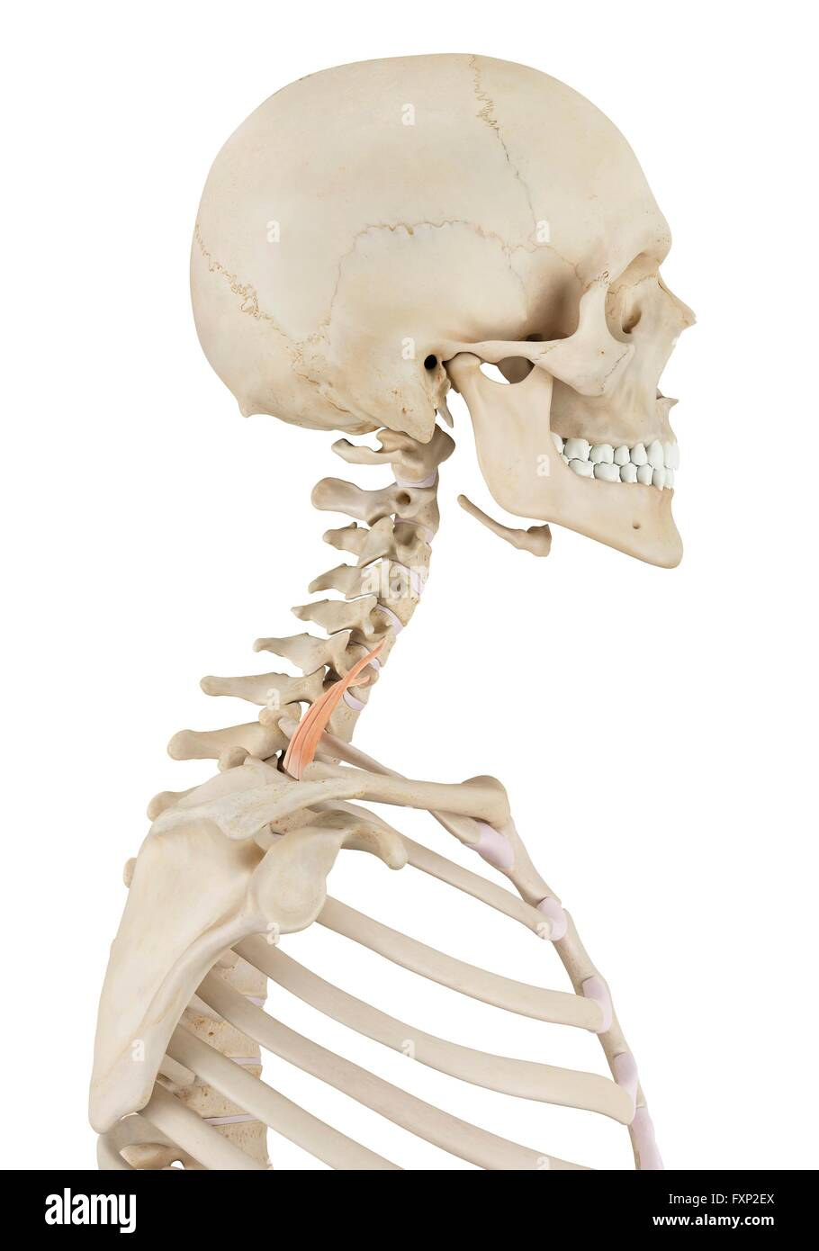 human neck muscles, computer illustration  - stock image