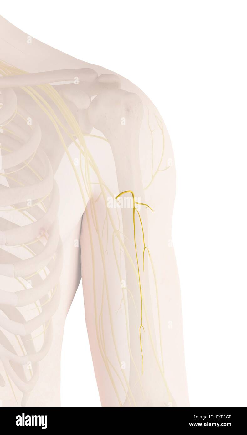 Human Arm Nerves Computer Illustration Stock Photo 102517878 Alamy