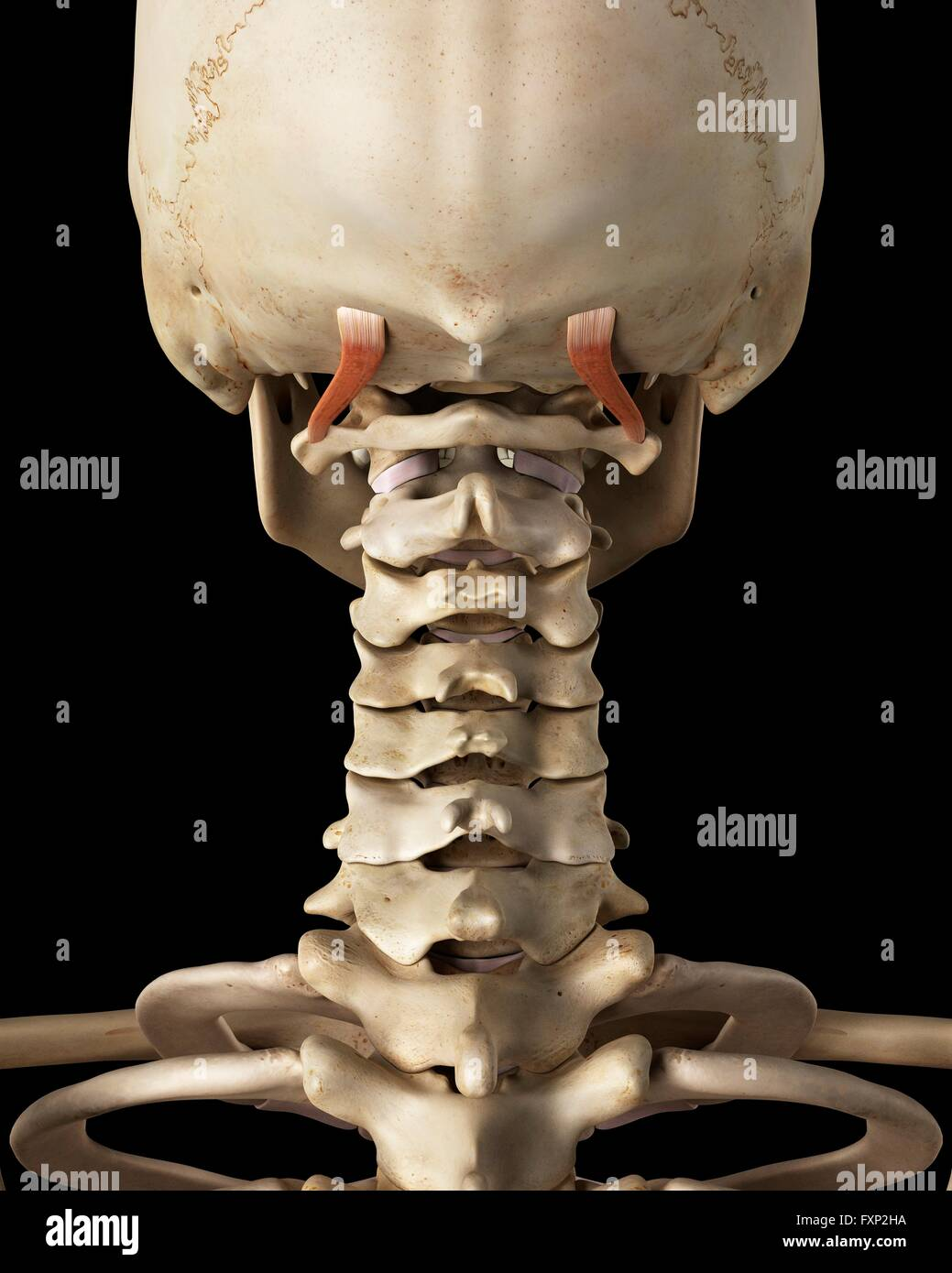 Human neck bones and muscle, computer illustration Stock ...