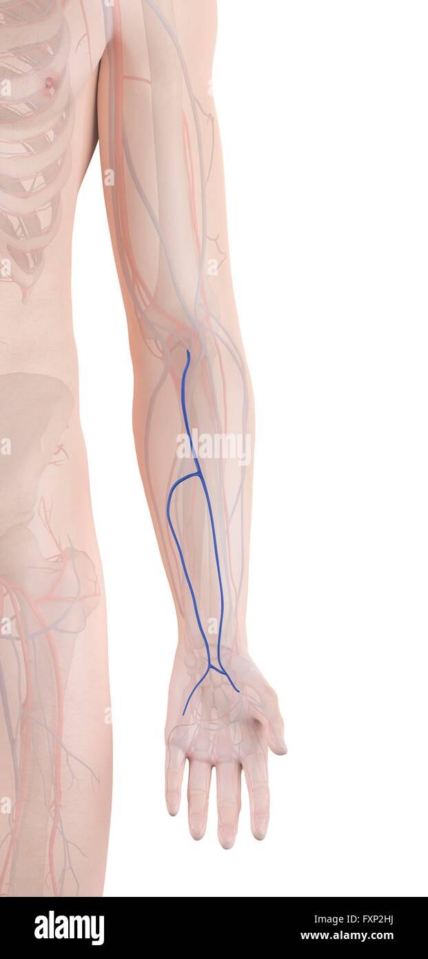 Veins Arm Stock Photos & Veins Arm Stock Images - Alamy