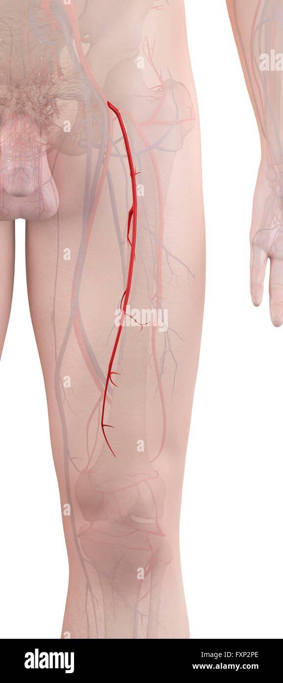 Leg Arteries Stock Photos Leg Arteries Stock Images Alamy