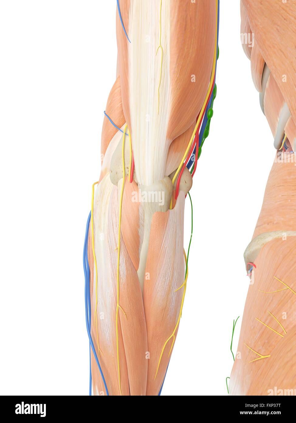 Arm Arteries Stock Photos & Arm Arteries Stock Images - Alamy