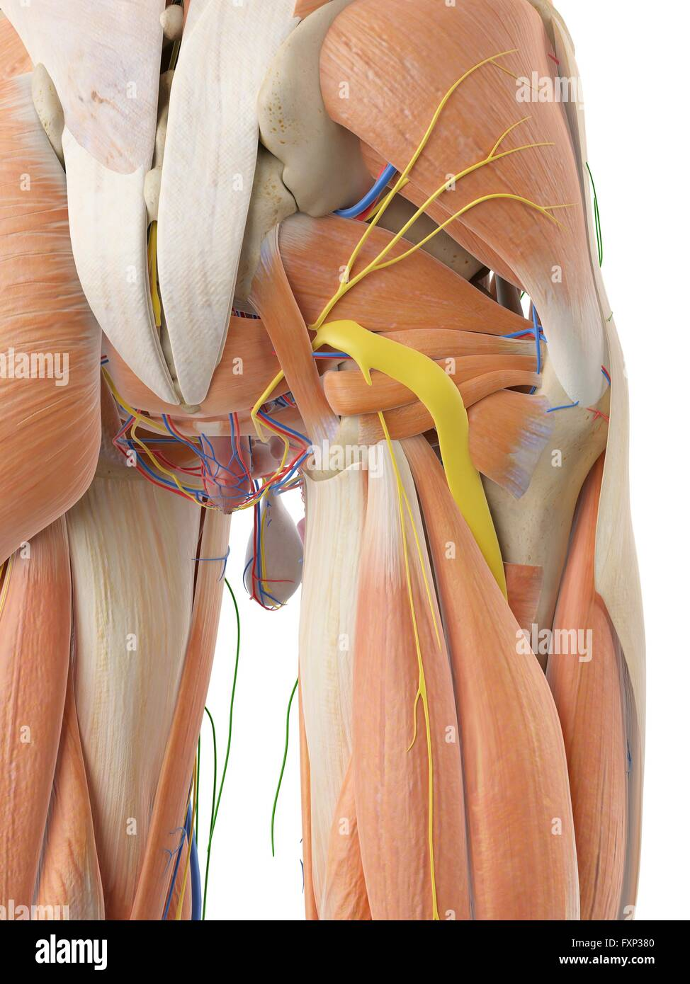 Anatomy Of Human Buttocks Stock Photos Anatomy Of Human Buttocks