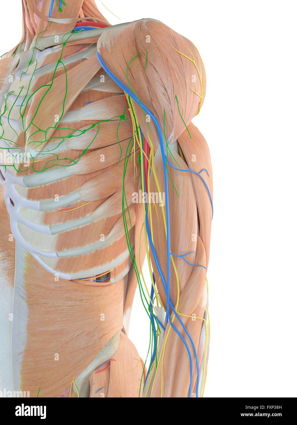 Arm Arteries Stock Photos & Arm Arteries Stock Images - Alamy