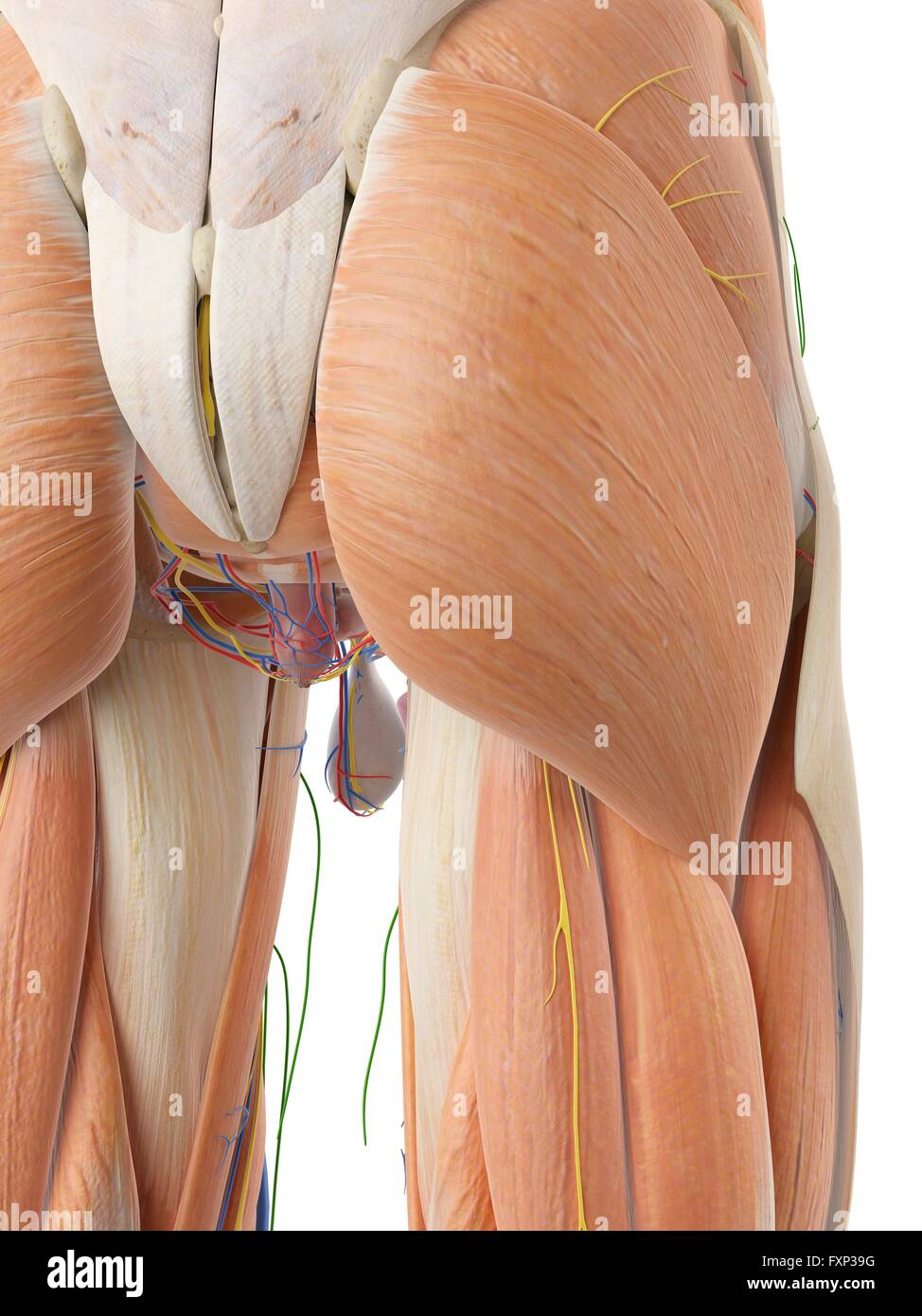 Anatomy of the human buttocks, computer illustration Stock Photo ...