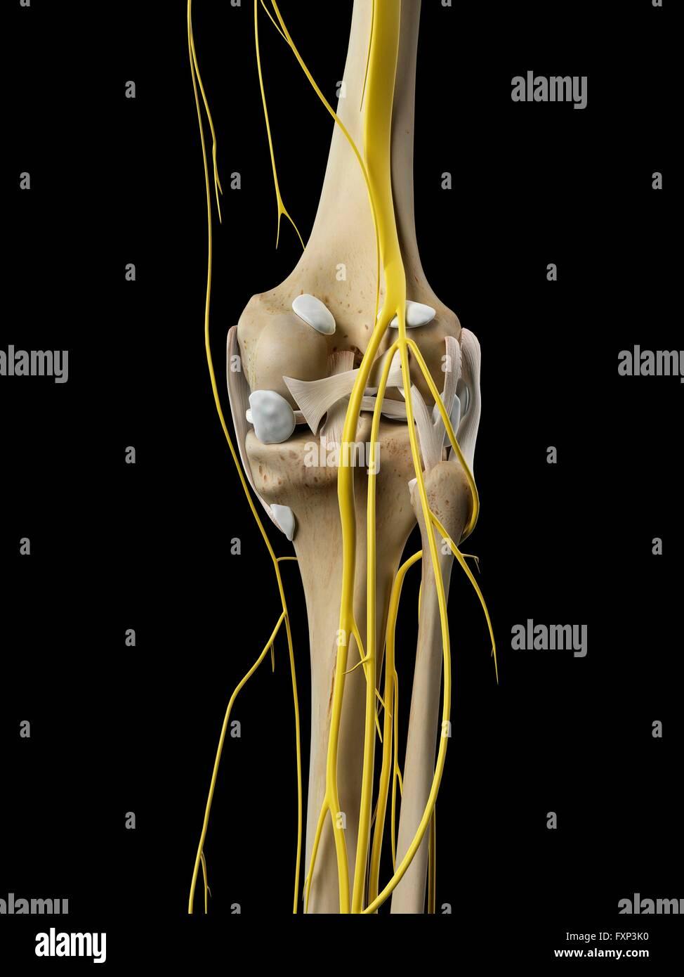 Human Leg Nerves Stock Photos Human Leg Nerves Stock Images Alamy