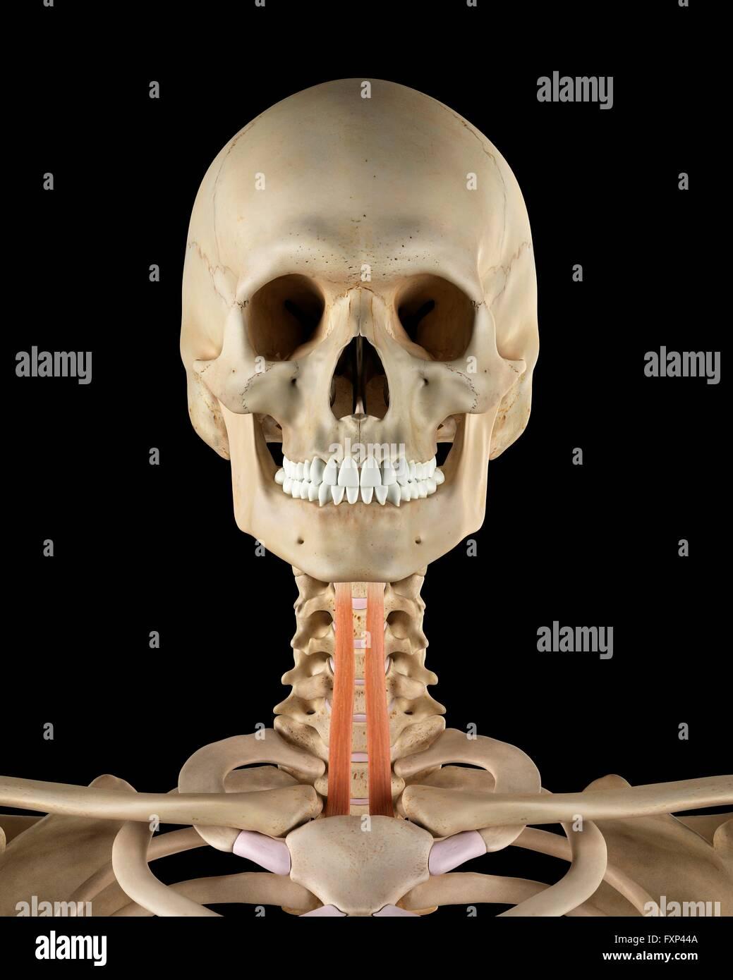 Normal Neck Bones Stock Photos Normal Neck Bones Stock Images Alamy
