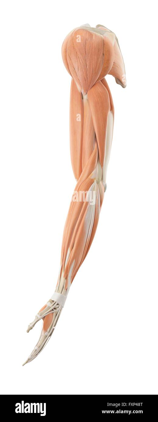 Human Arm Anatomy Stock Photos Human Arm Anatomy Stock Images Alamy