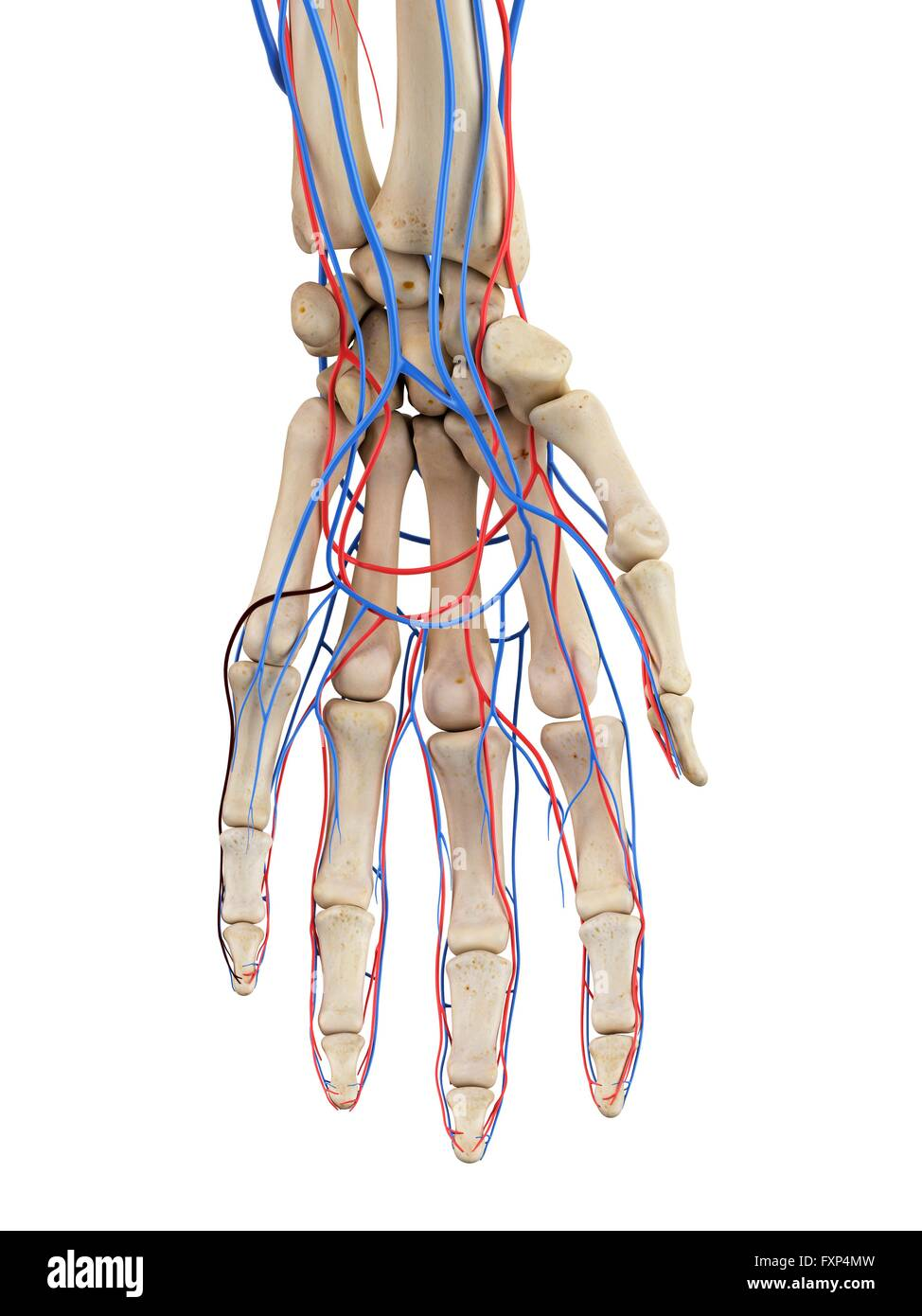 Human Hand Veins And Arteries Computer Illustration Stock Photo