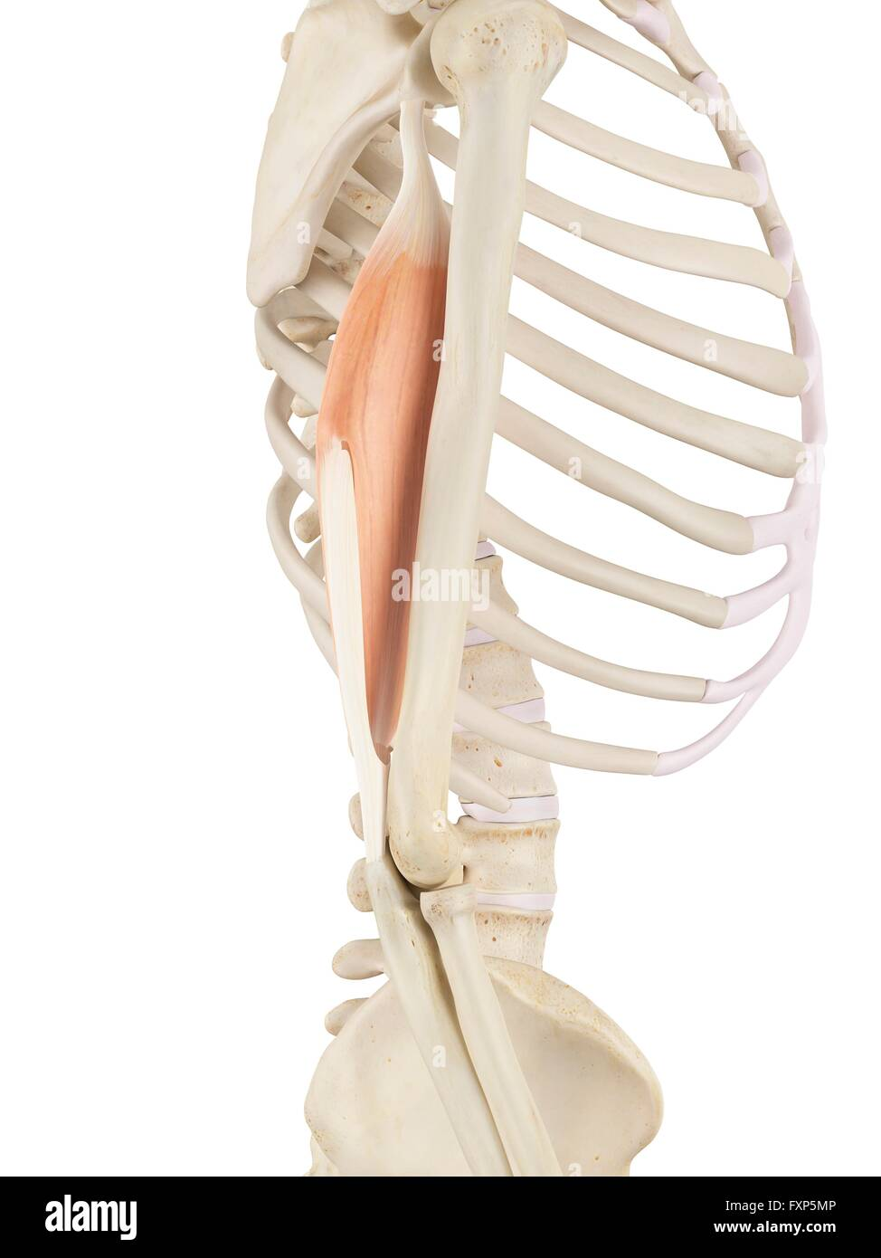 Upper Arm Muscles Stock Photos & Upper Arm Muscles Stock Images - Alamy