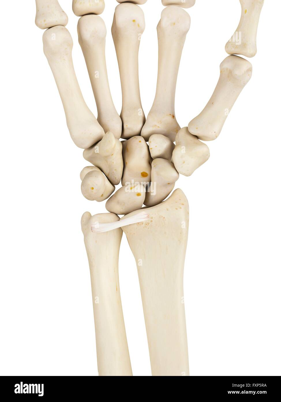 Human Wrist Bones Computer Illustration Stock Photo 102520414 Alamy