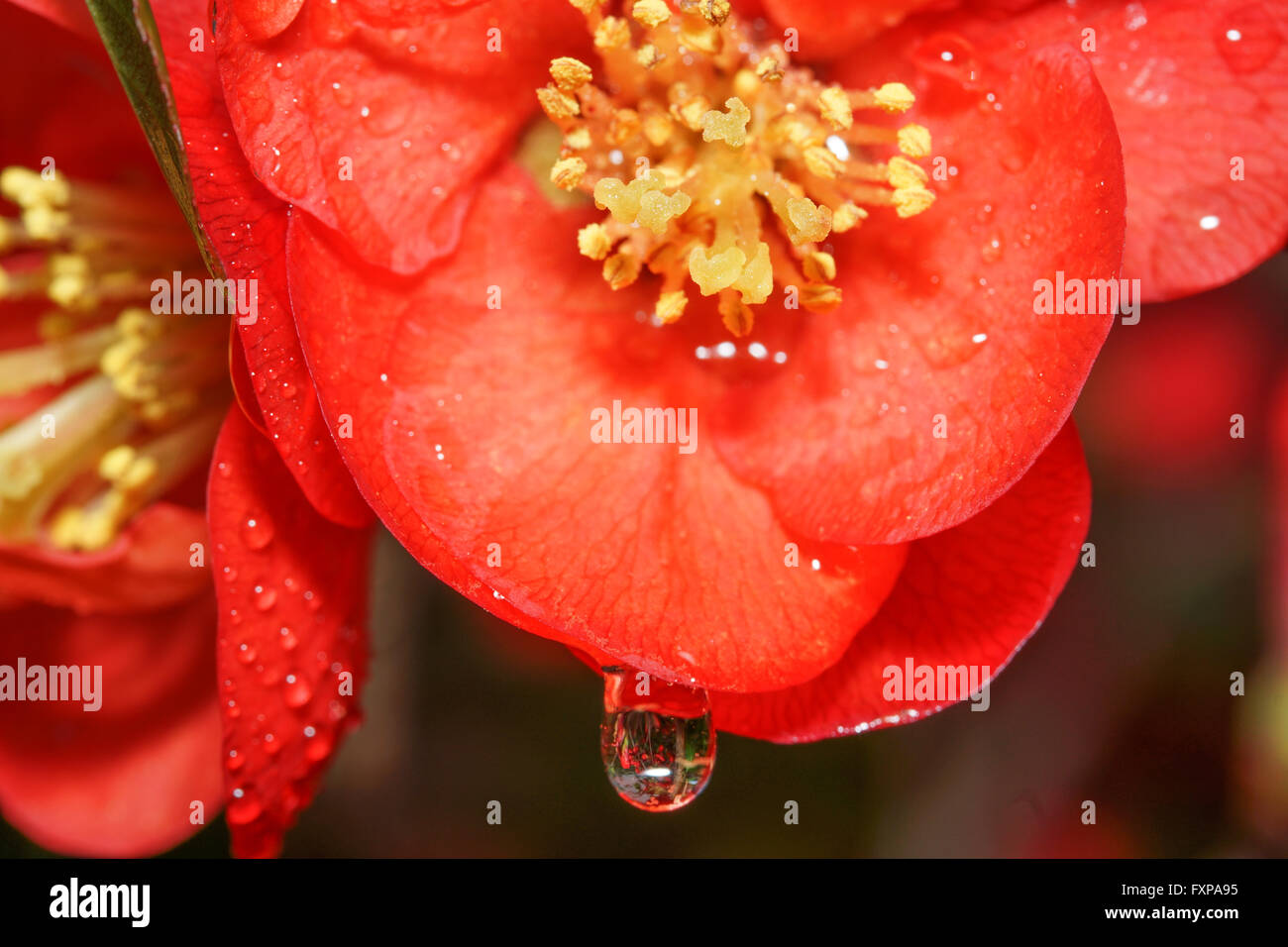 Flowers and dewdrops,water - Stock Image