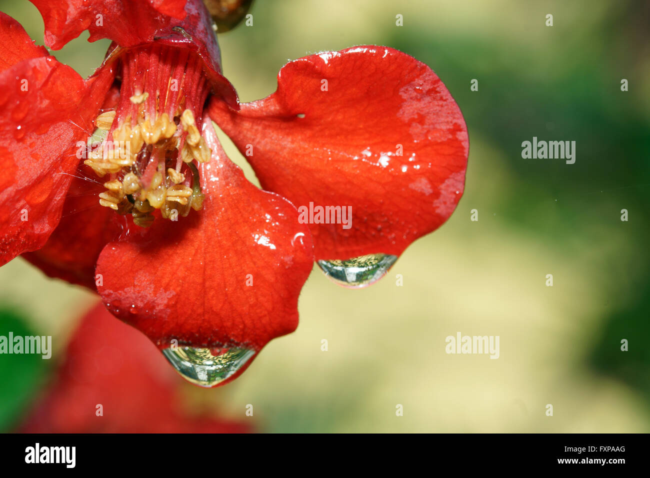 Flowers and dewdrops, - Stock Image