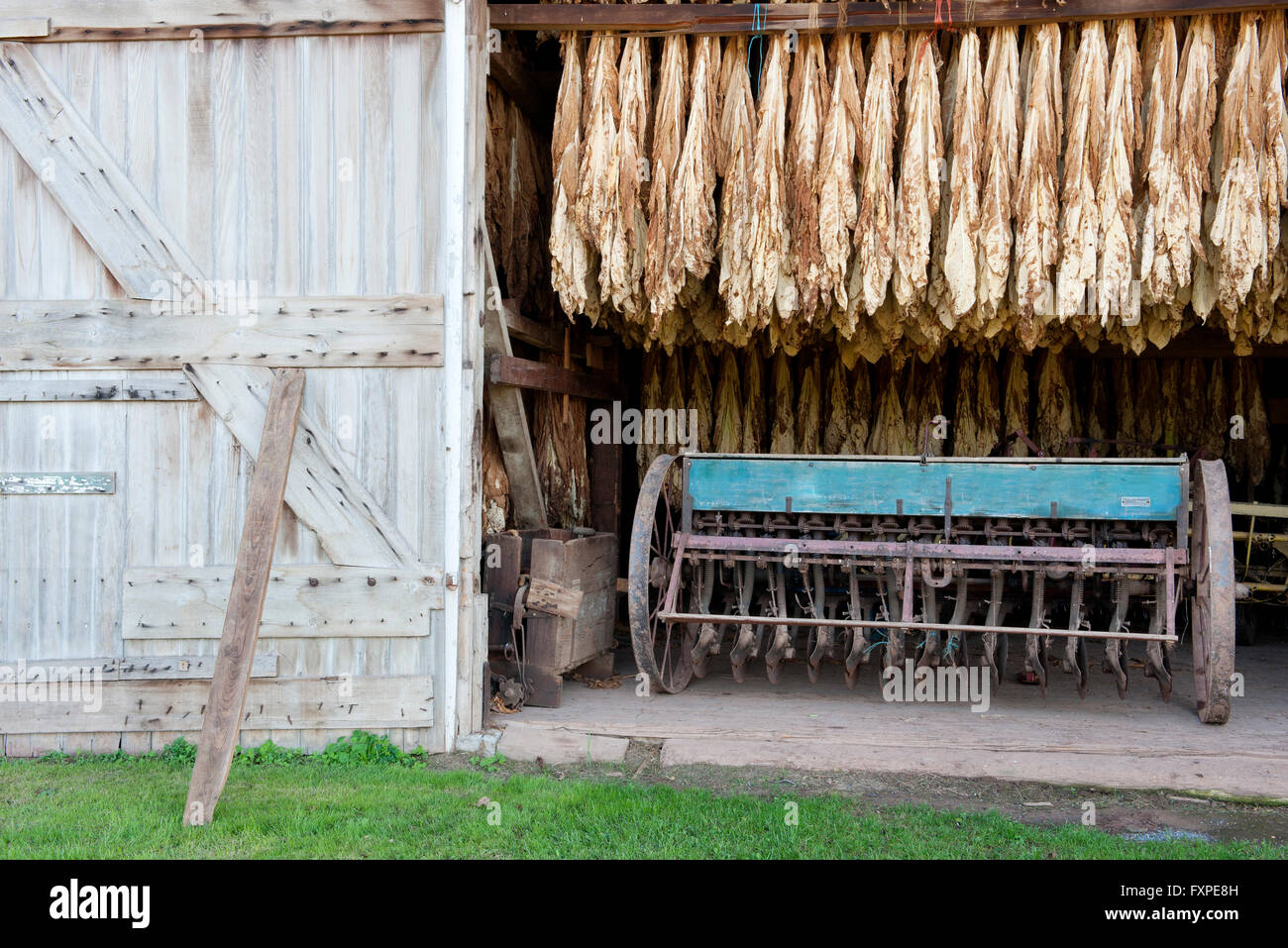 Tobacco leaves drying in barn, Ephrata, Pennsylvania, USA - Stock Image