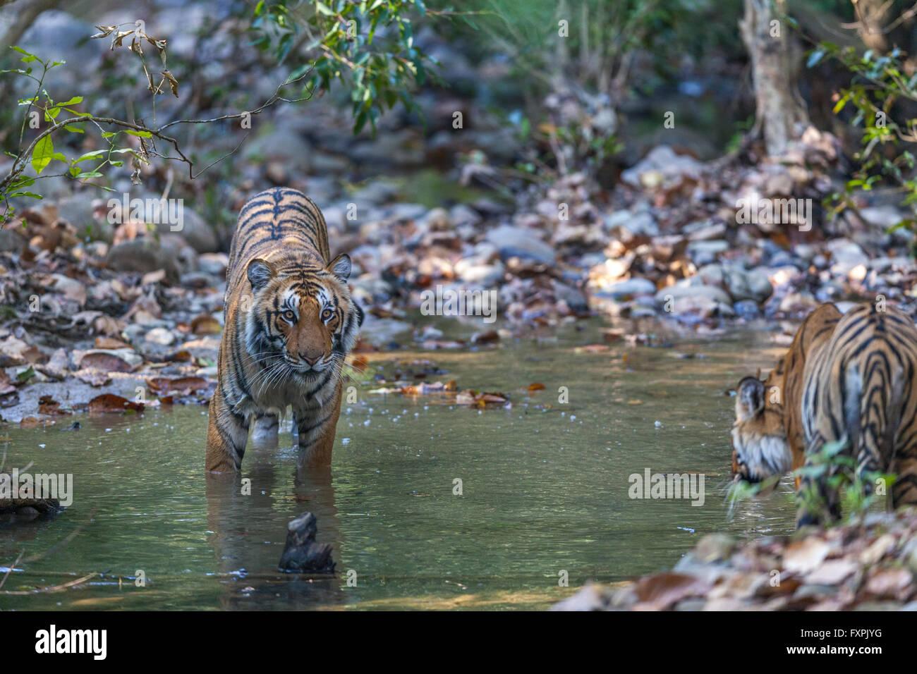 Sub adult Bengal Tigers at Jim Corbett National Park, India. ( Panthera Tigris ) - Stock Image