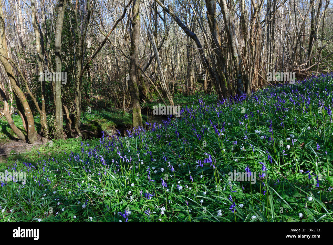 Abbots Wood, East Sussex.18th April 2016.UK weather. Bluebells out in force on a fine morning in Abbots Wood,East - Stock Image
