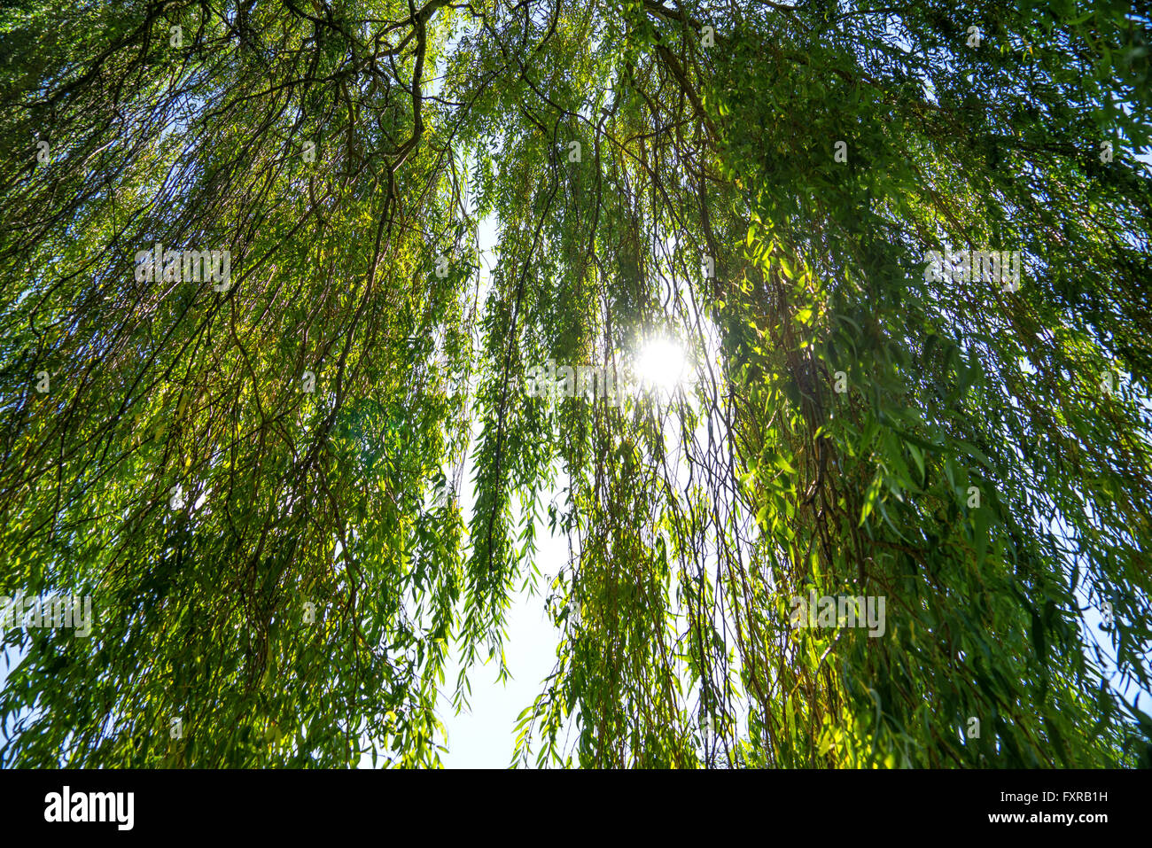 Sun shines through a willow tree - Stock Image