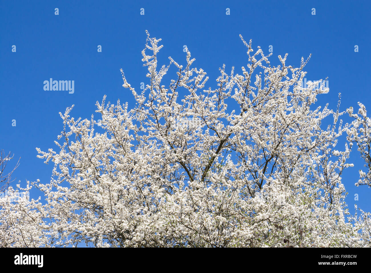 Crown of the blossoming wild fruits tree in the early spring white crown of the blossoming wild fruits tree in the early spring white small flowers and bright blue sky without a single cloud mightylinksfo