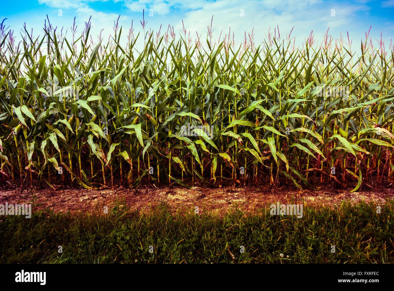 Minimalist view, row of corn in Indiana, USA. - Stock Image