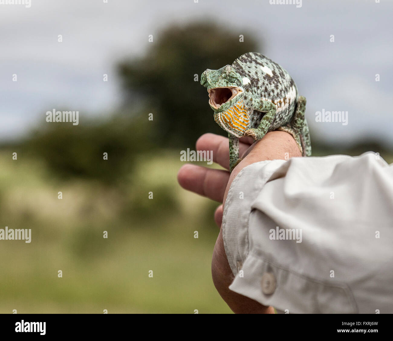 Flap-necked Chameleon with open mouth, on the arm of a safari guide in he Zambezi Region / Caprivi Strip northern - Stock Image
