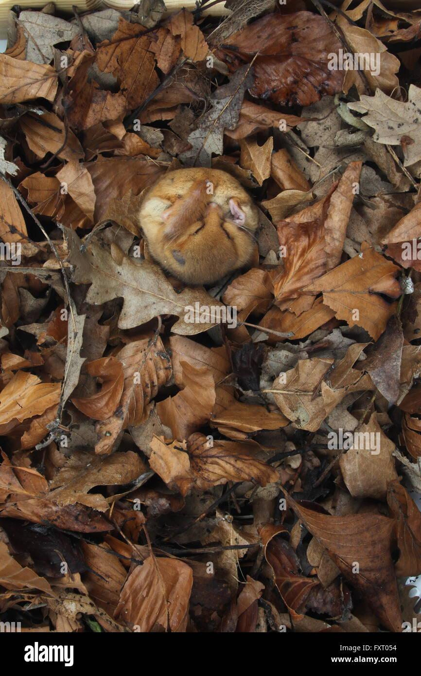 Hazel dormouse, Muscardinus avellanarius - Stock Image
