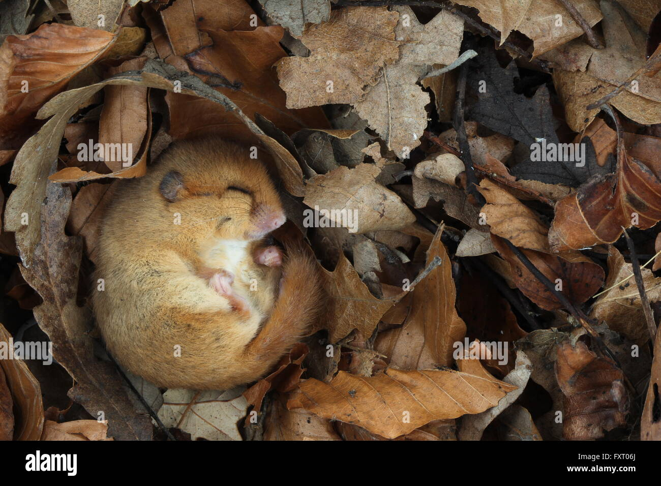 Hazel dormouse, Muscardinus avellanarius uk rodent - Stock Image
