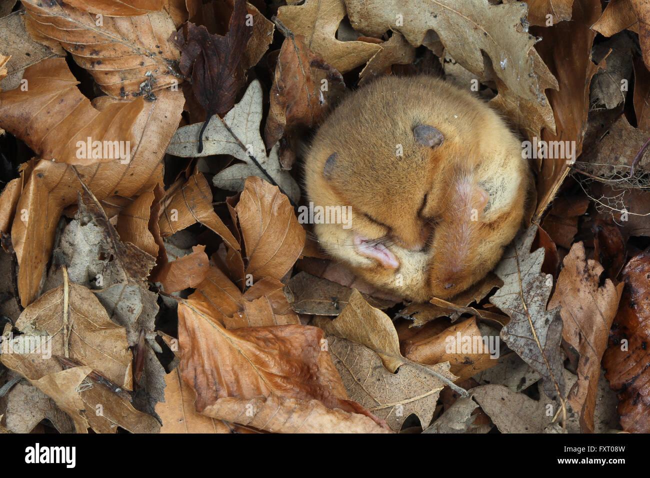 Dormouse sleeping in leaves - Hazel dormouse, Muscardinus avellanarius - Stock Image