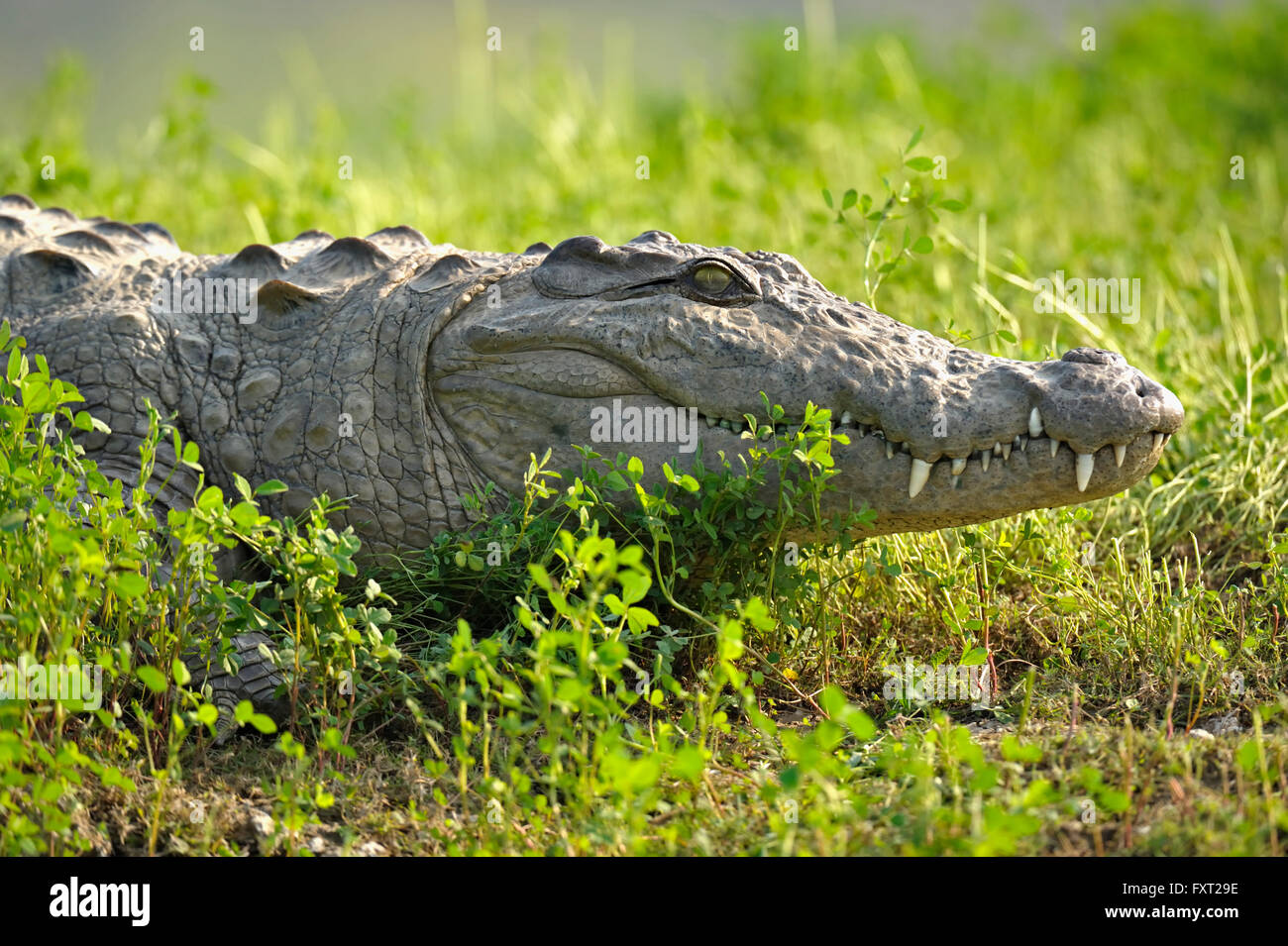 Mugger Crocodile Stock Photos and Images