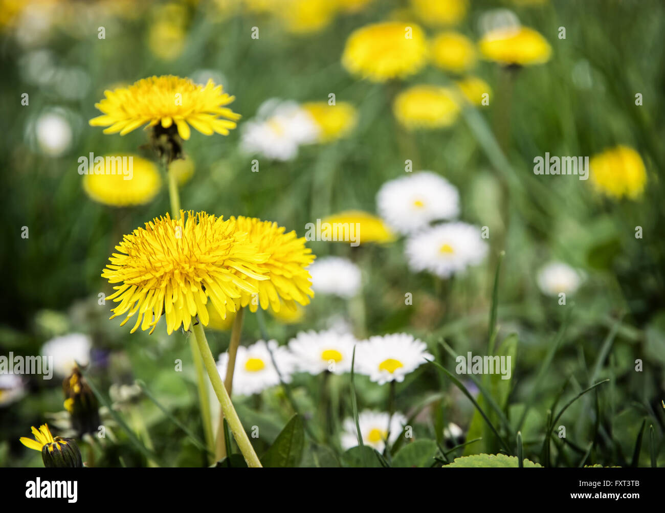 Yellow dandelions and ox-eye daisies in the meadow. Close up natural scene. Stock Photo