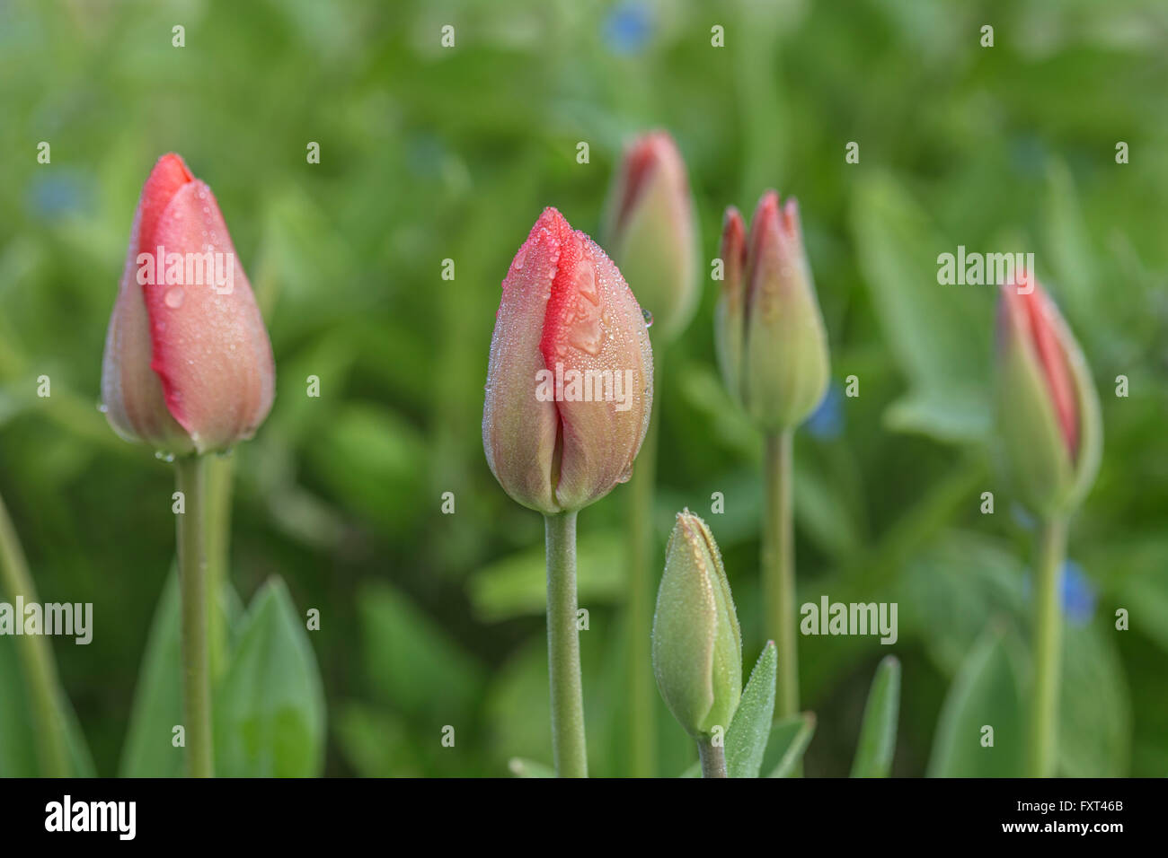 Unopened Tulip flowers covered with morning dew. - Stock Image