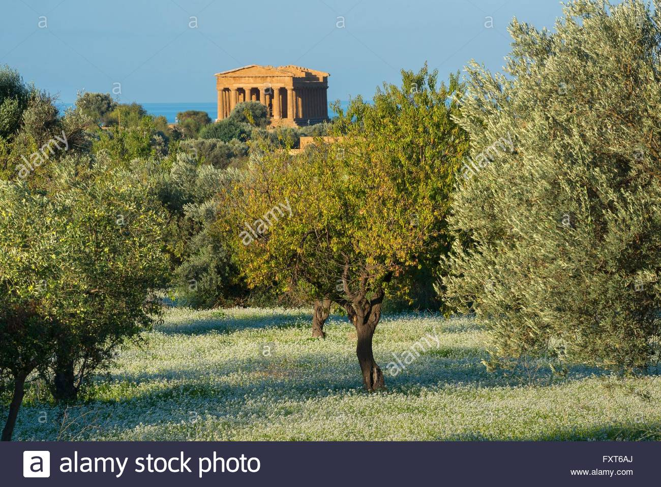 Olive grove and the Temple of Concordia, Valley of the Temples, Agrigento, Sicily, Italy - Stock Image