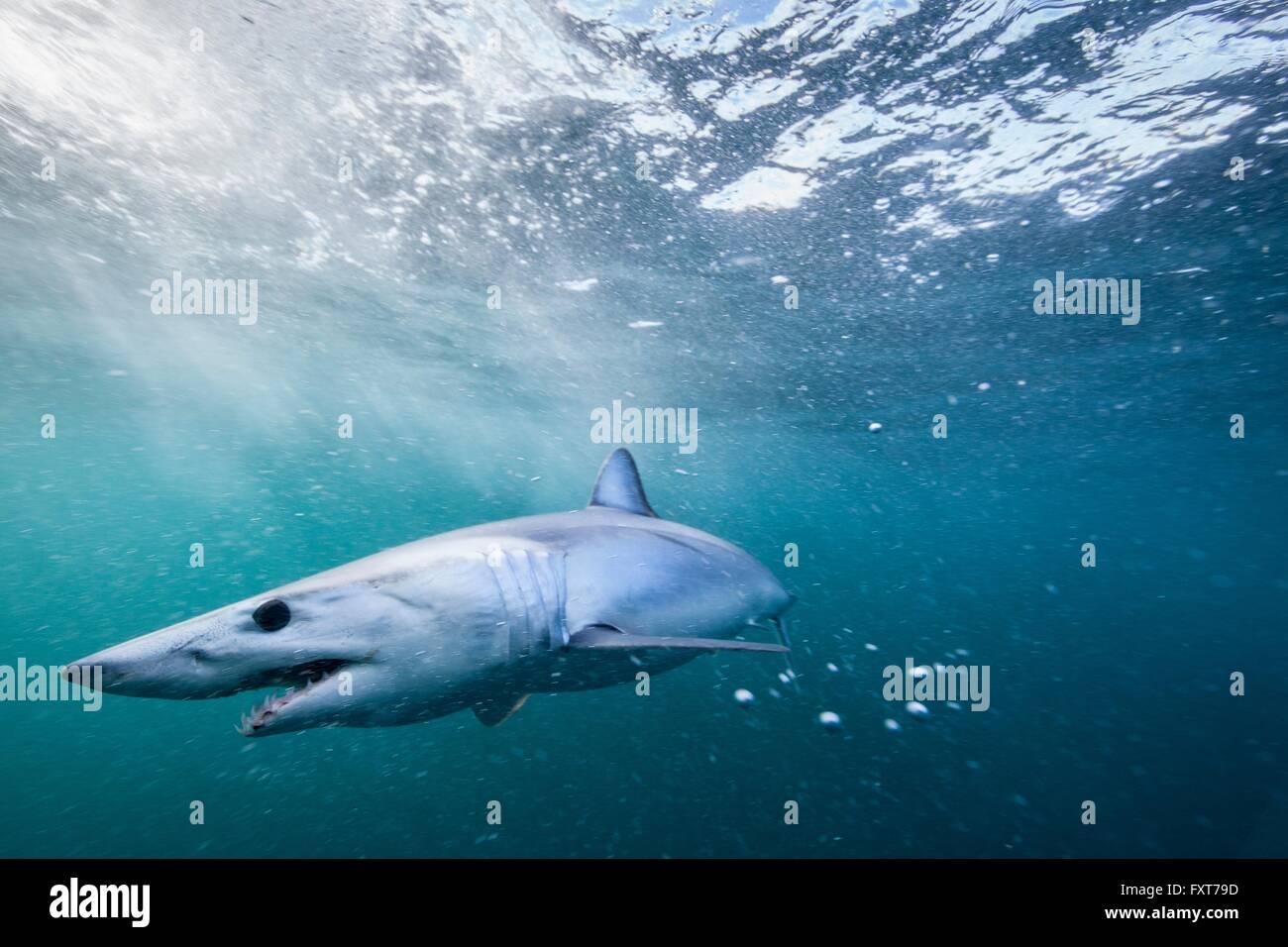 Underwater view of menacing shortfin mako shark (Isurus oxyrinchus) swimming in sea, West Coast, New Zealand - Stock Image