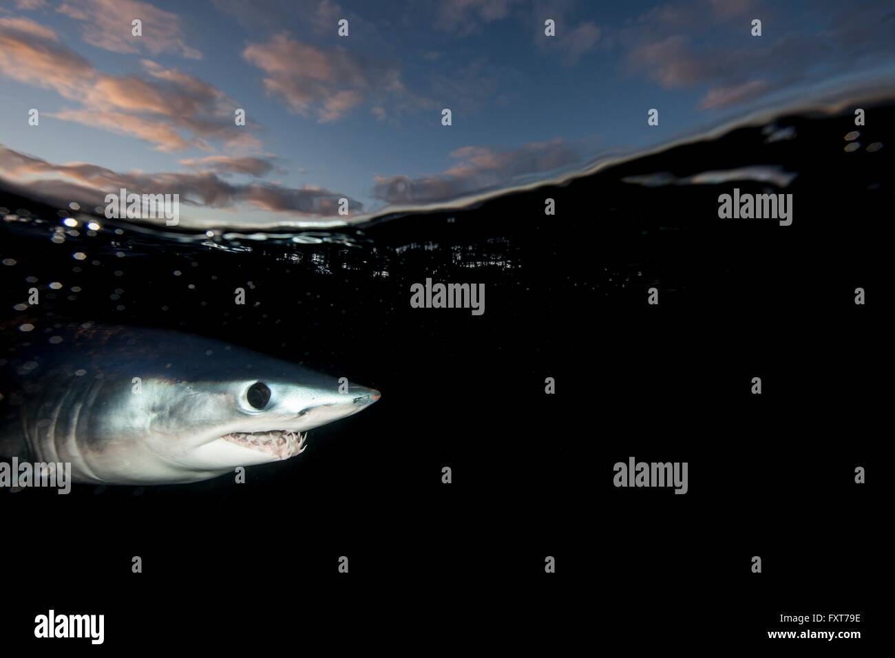 Underwater view of shortfin mako shark (Isurus oxyrinchus) swimming near dark sea surface, West Coast, New Zealand - Stock Image