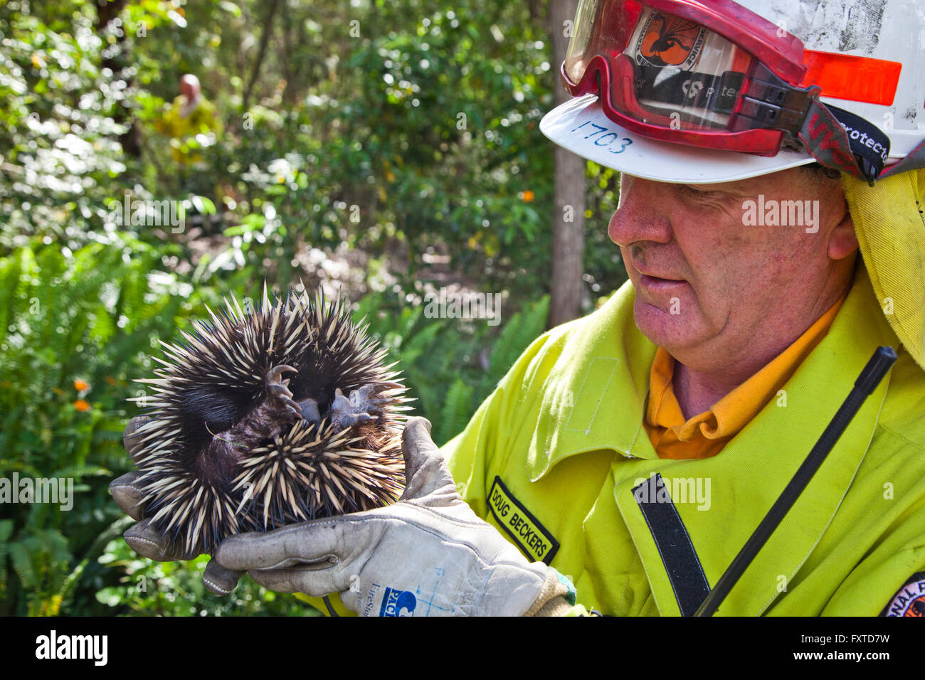 wildlife rescue of an Echidna by National Park Ranger Doug Beckers during a controled back burn at Bouddi National - Stock Image