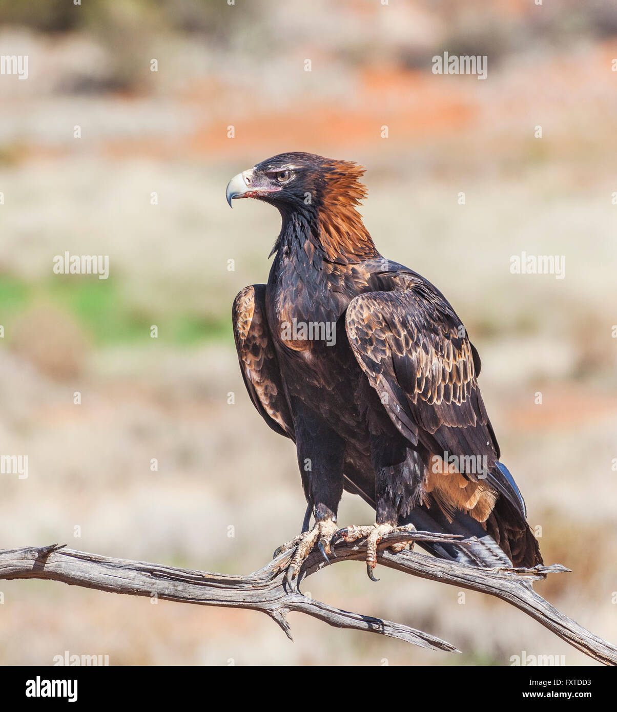 Wedge-tailed Eagle (Aquila audax) at Sturt National Park, far northwest New South Wales - Stock Image