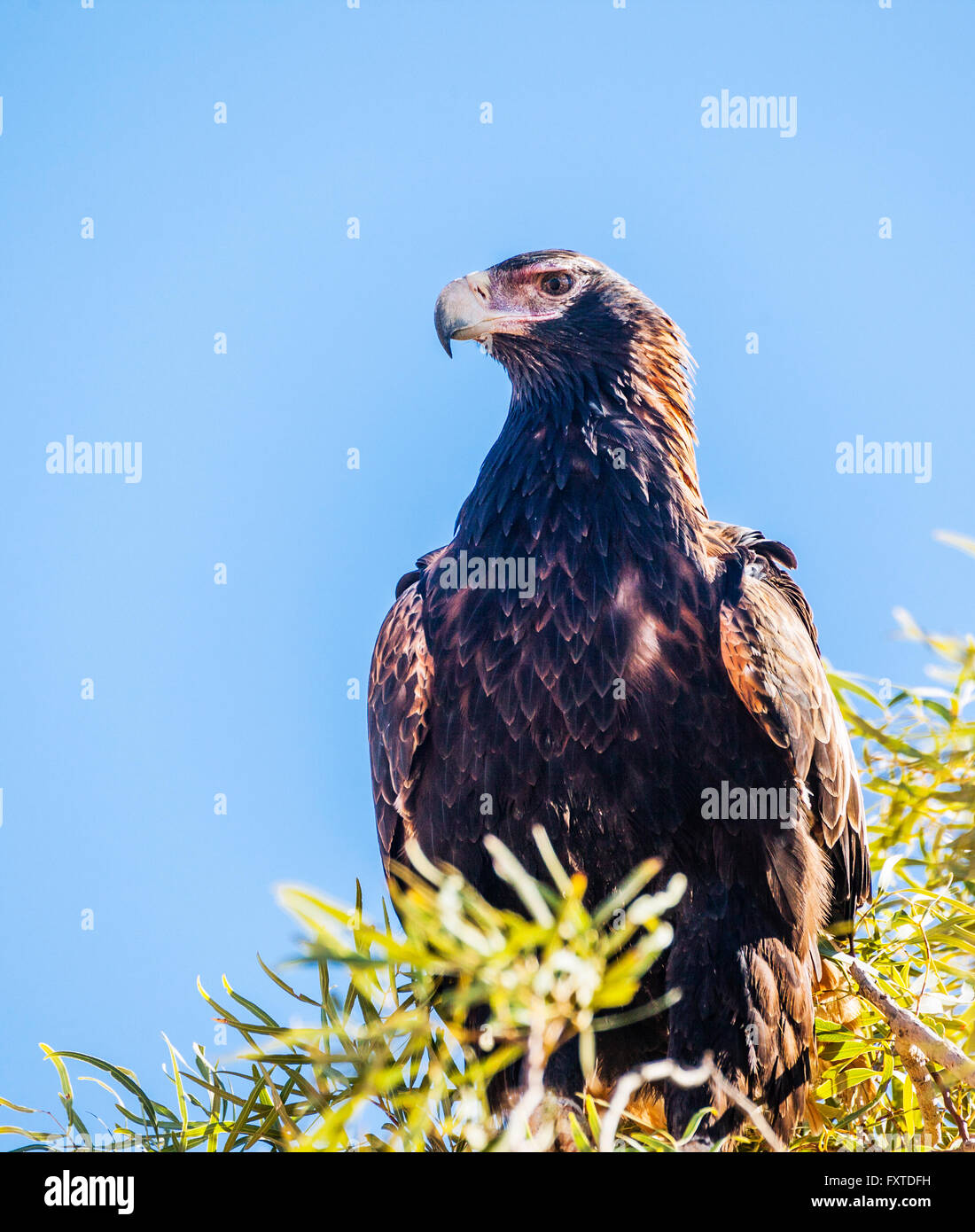 a Wedge-tailed Eagle, Aquila audax, the largest bird of prey in Australia is perching on a treetop - Stock Image