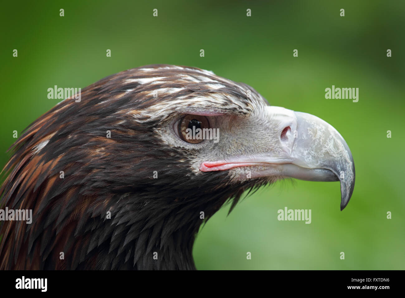 Close up of a Wedge-tailed Eagle (Aquila audax) in Queensland, Australia. - Stock Image