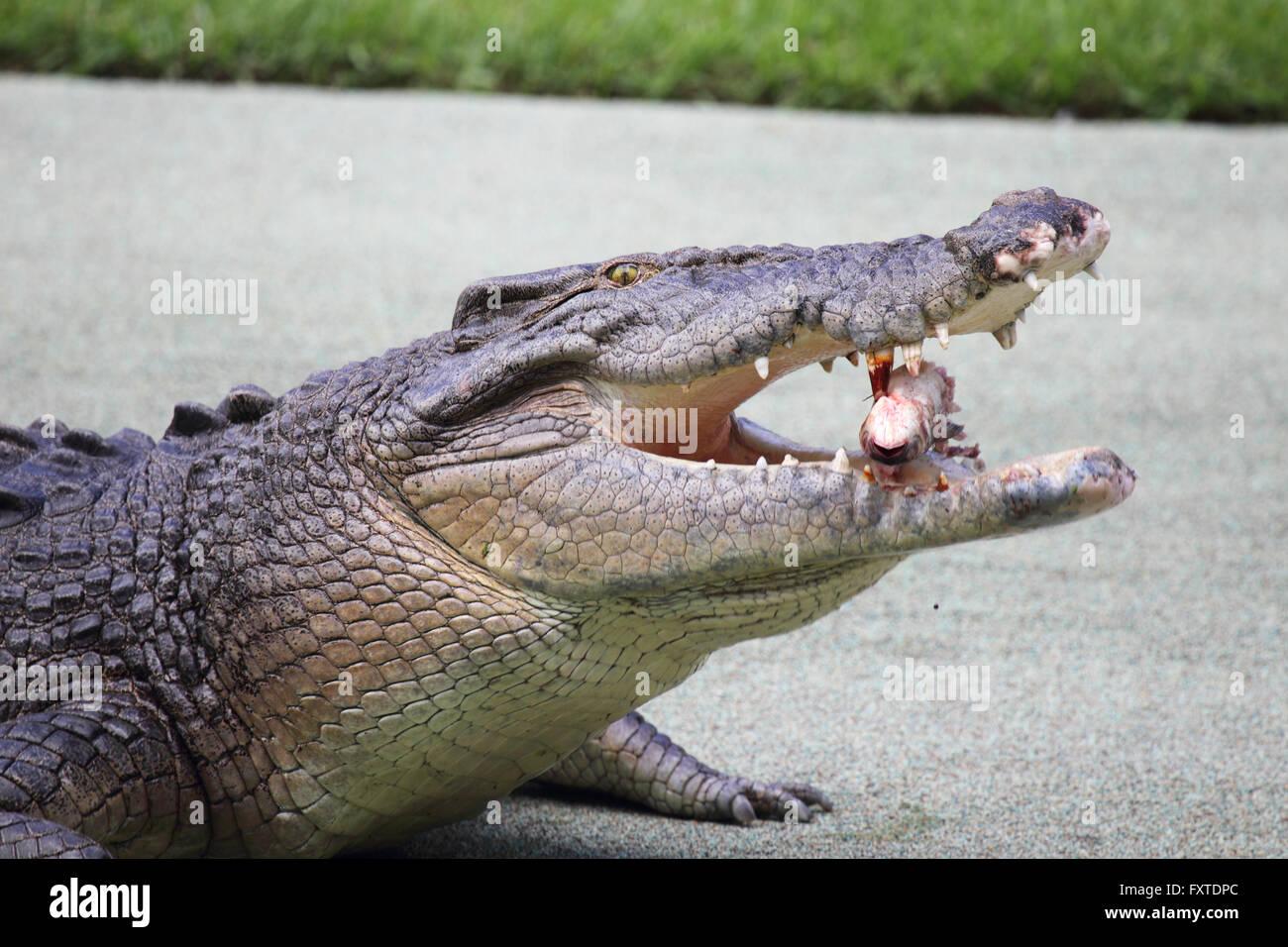 Saltwater Crocodile (Crocodylus porosus) in Queensland, Australia. - Stock Image