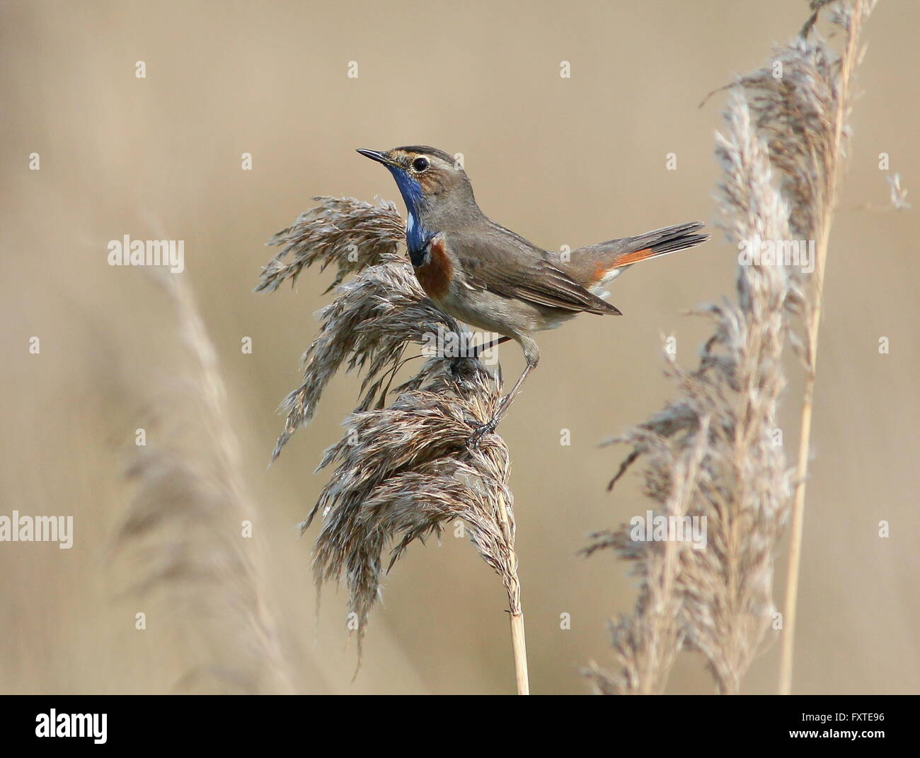 Male European White Spotted Bluethroat Luscinia Svecica Cyanecula Posing In A Reed Plume