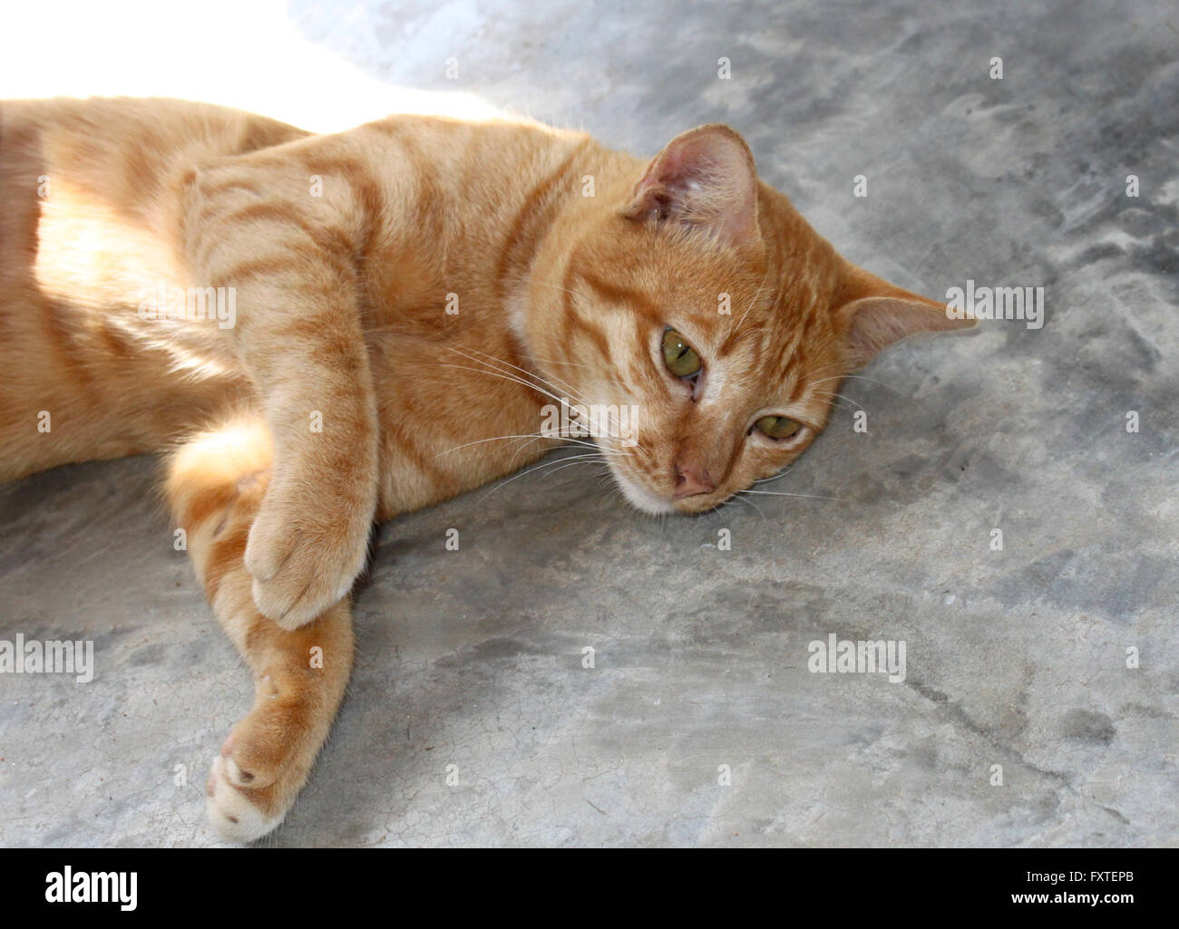 Red Cat Oriental breeds, Southeast Asia - Stock Image