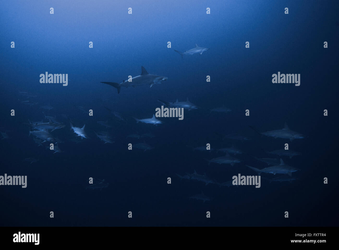 Scalloped Hammerheads (Sphyrna Lewini) form large schools and swim together - Stock Image