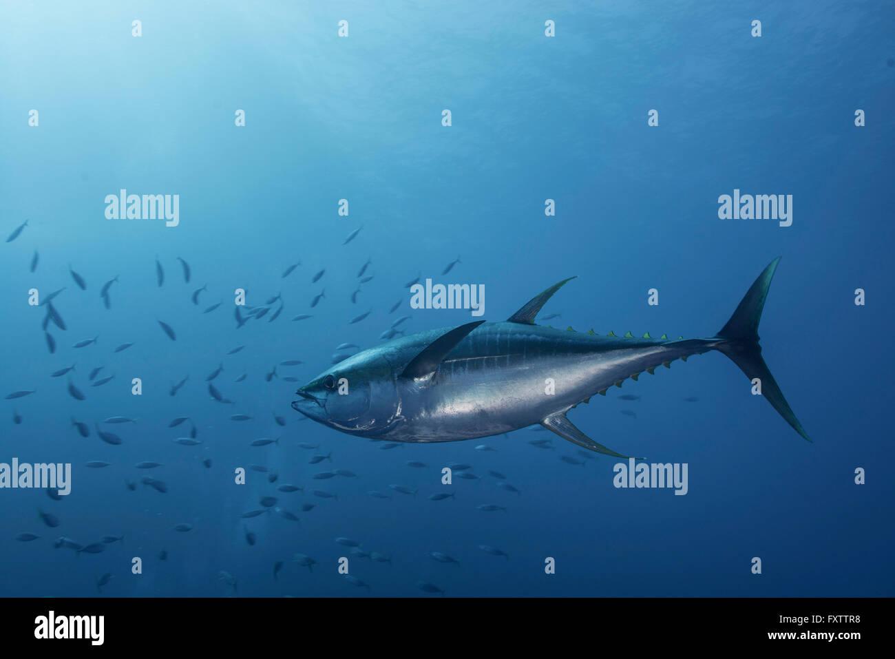 Large Yellowfin Tuna (Thunnus Albacares) launches at amazing speed towards school of mackerel - Stock Image