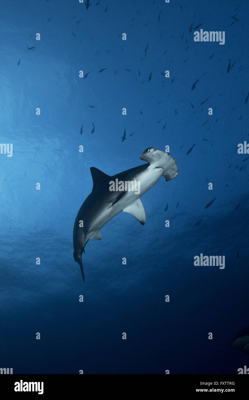 Low-angle view of Hammerhead Shark (Sphyrna Lewini) swimming - Stock Image