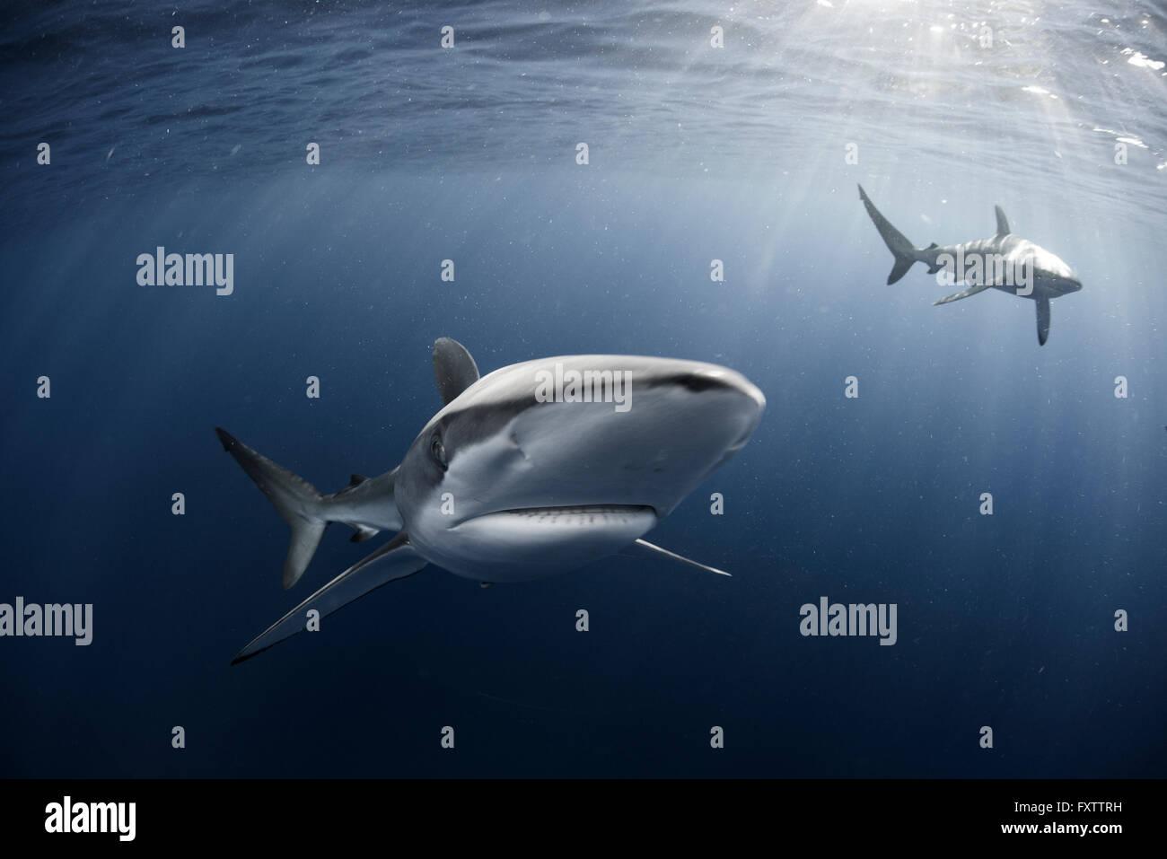 Curious Silky Shark (Carcharhinus Falciformis) swimming close to surface - Stock Image