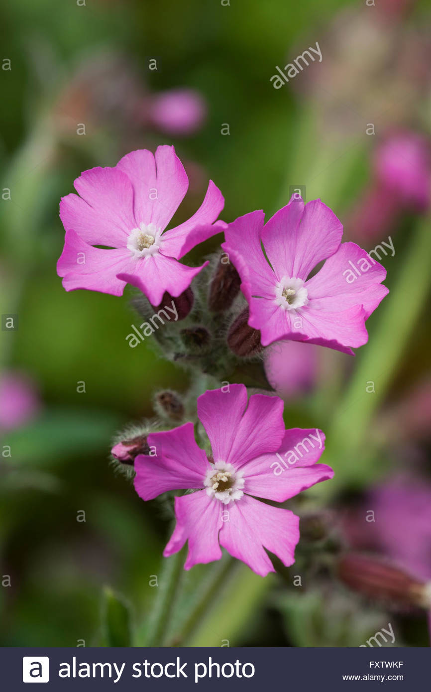 Silene dioica 'Rolly's Favourite' red campion - Stock Image