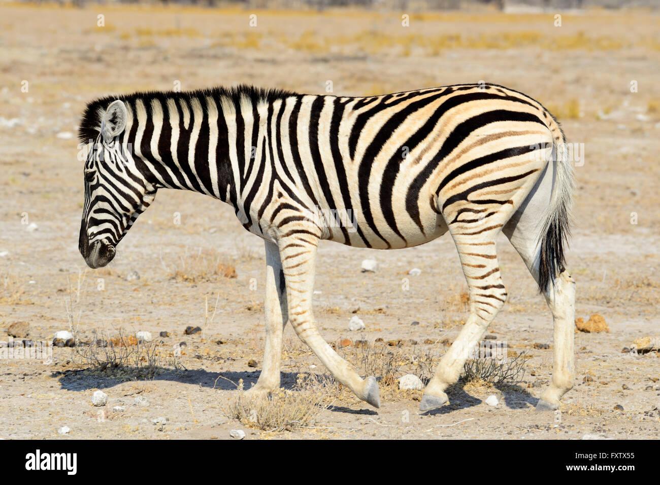 Burchell's Zebra (Equus burchellii) in Etosha National Park, Namibia - Stock Image