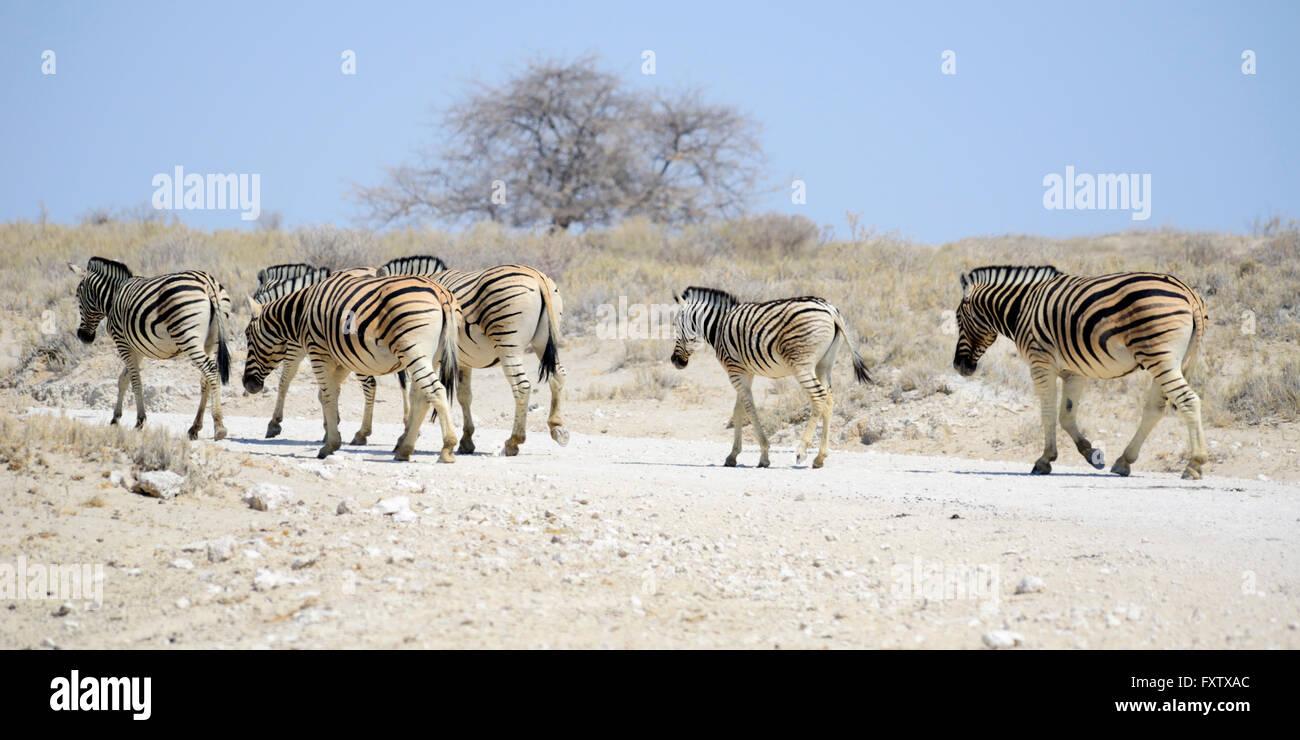 Burchell's Zebras (Equus burchellii) in Etosha National Park, Namibia - Stock Image