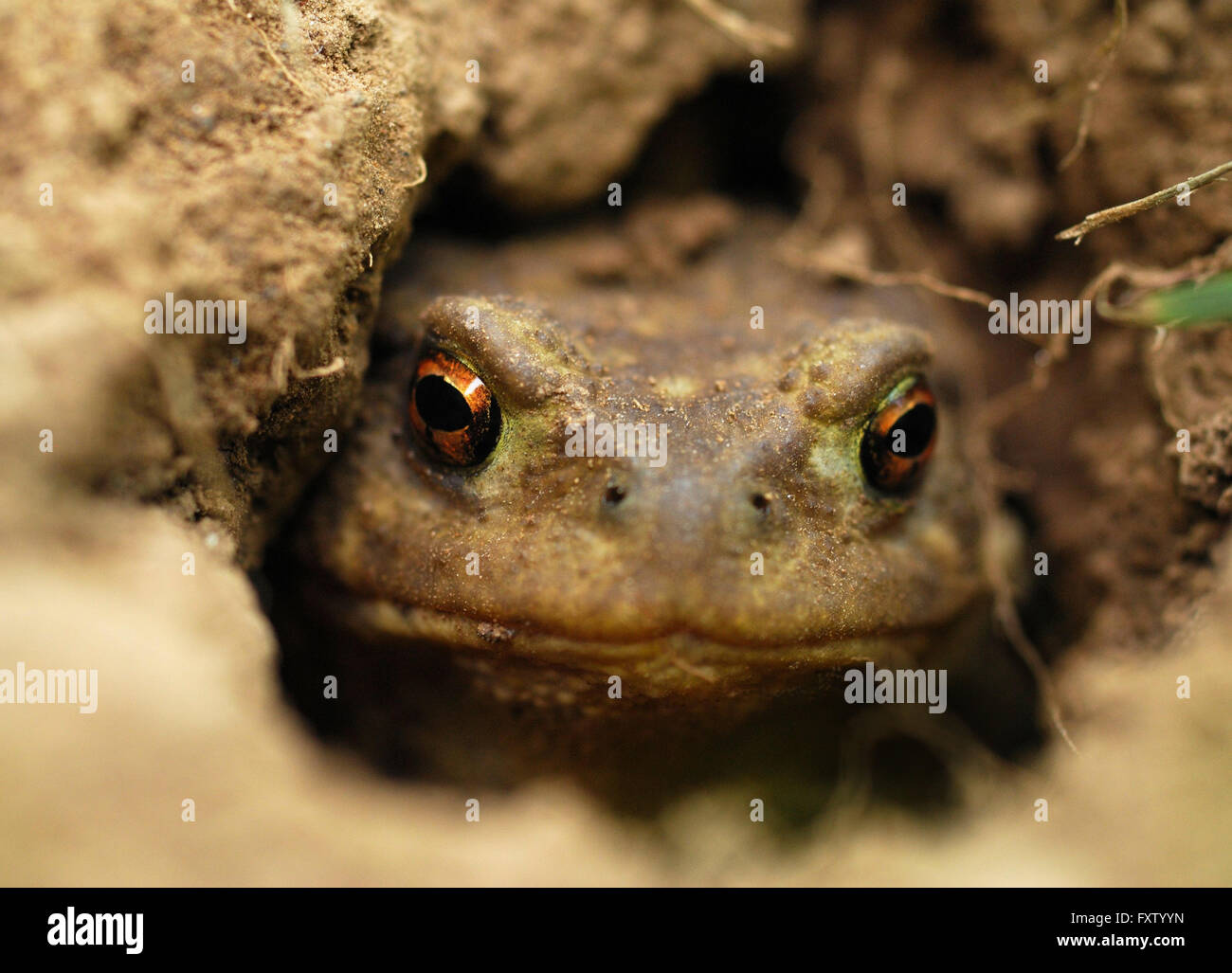 Macro photography of a toad in a hole watching you intently - Stock Image